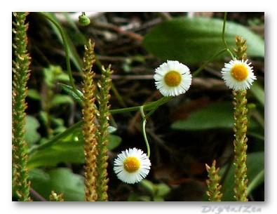 Fleabane and Plantain Shoots