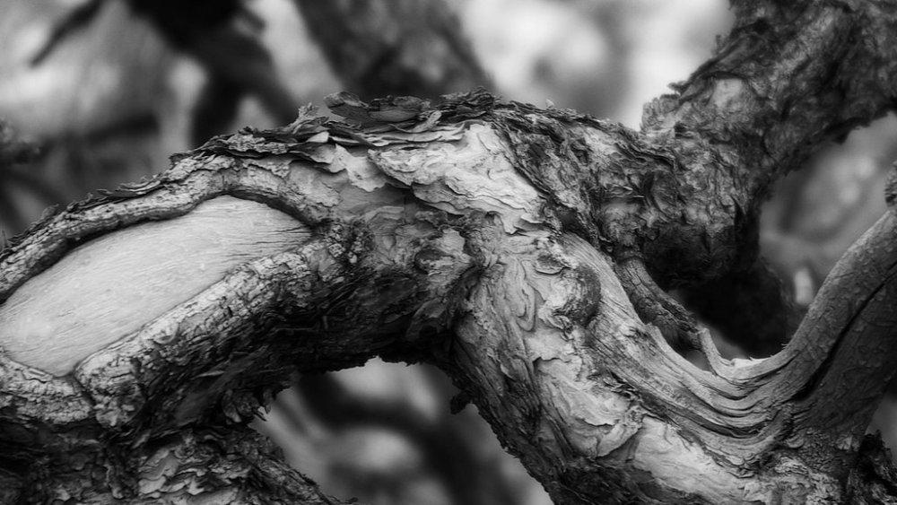 Piñon Pine, ( Pinus edulis )